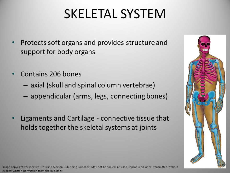 SKELETAL SYSTEM Protects soft organs and provides structure and support for body organs. Contains 206 bones.