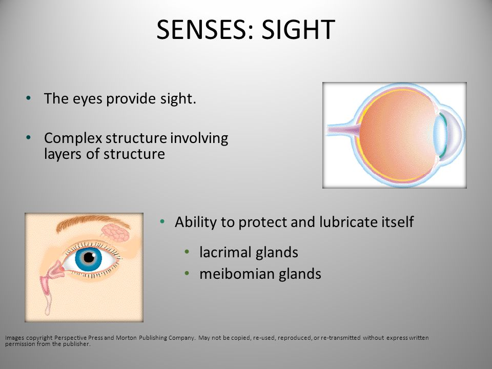 SENSES: SIGHT The eyes provide sight.