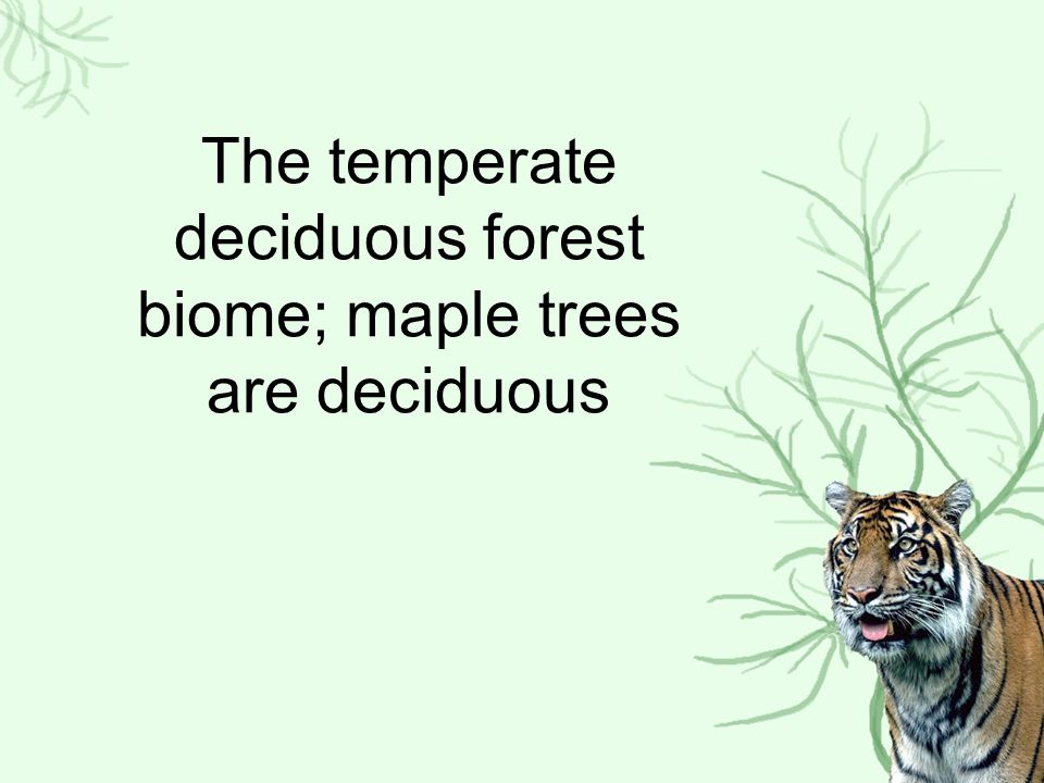 The temperate deciduous forest biome; maple trees are deciduous