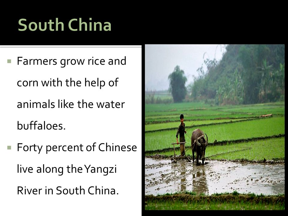 South China Farmers grow rice and corn with the help of animals like the water buffaloes.