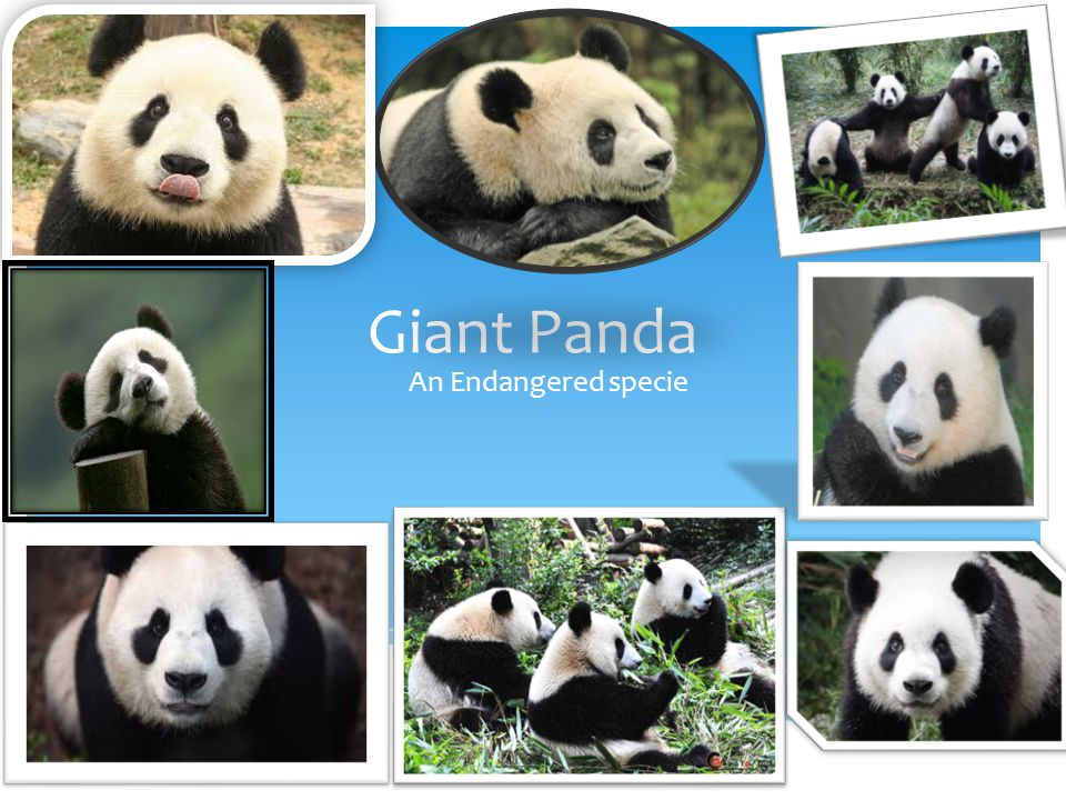 Giant Panda An Endangered specie