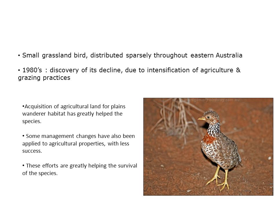 Plains Wanderer protection in Australia's farming country