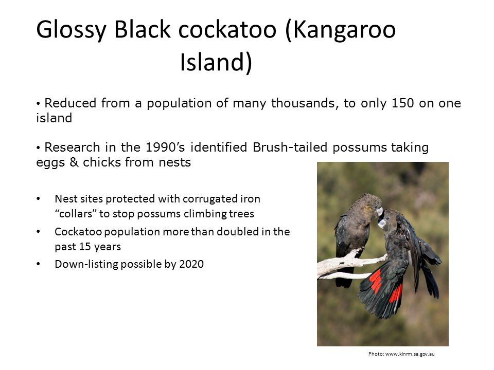 Glossy Black cockatoo (Kangaroo Island)