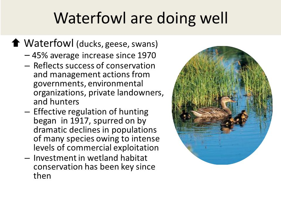 Waterfowl are doing well