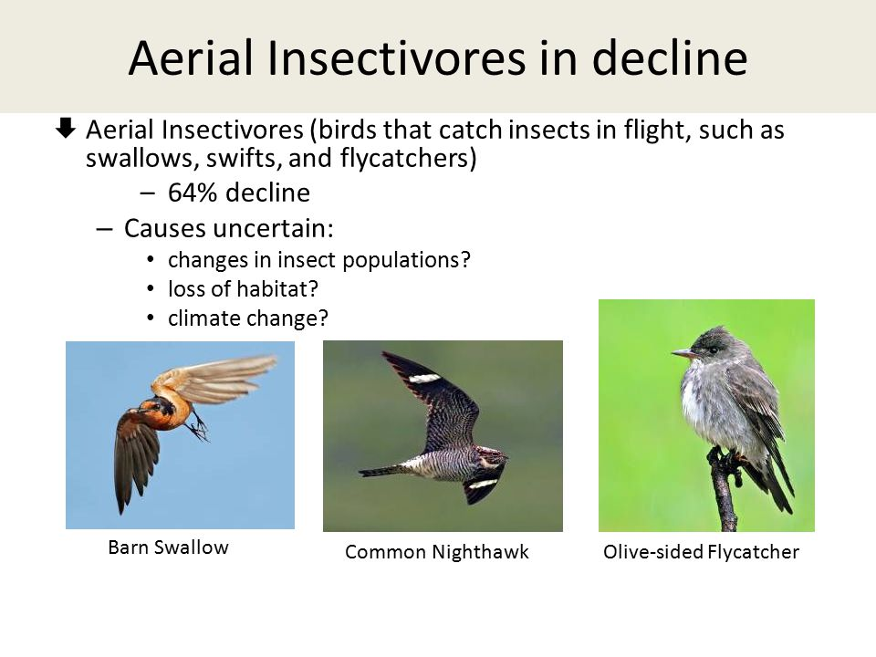 Aerial Insectivores in decline