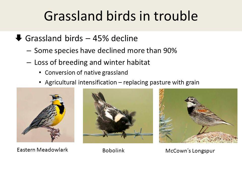 Grassland birds in trouble