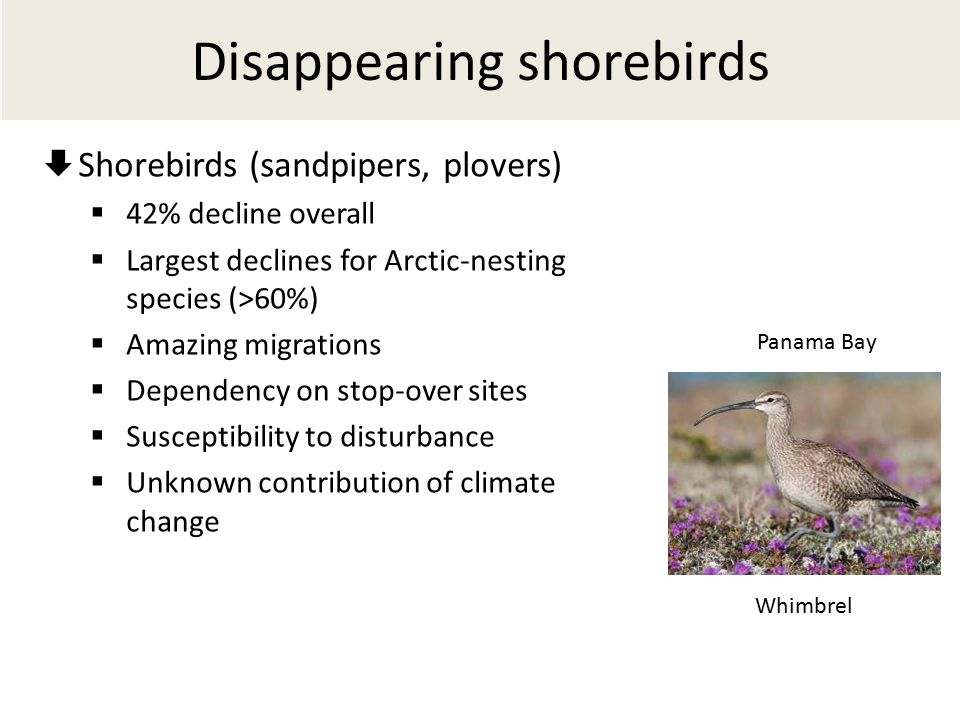 Disappearing shorebirds