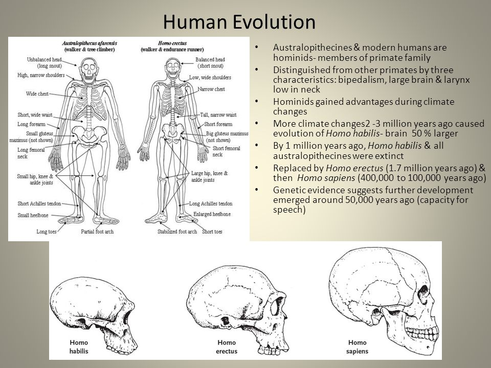 Human Evolution Australopithecines & modern humans are hominids- members of primate family.