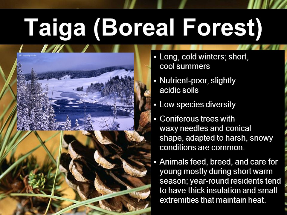 Taiga (Boreal Forest) Long, cold winters; short, cool summers