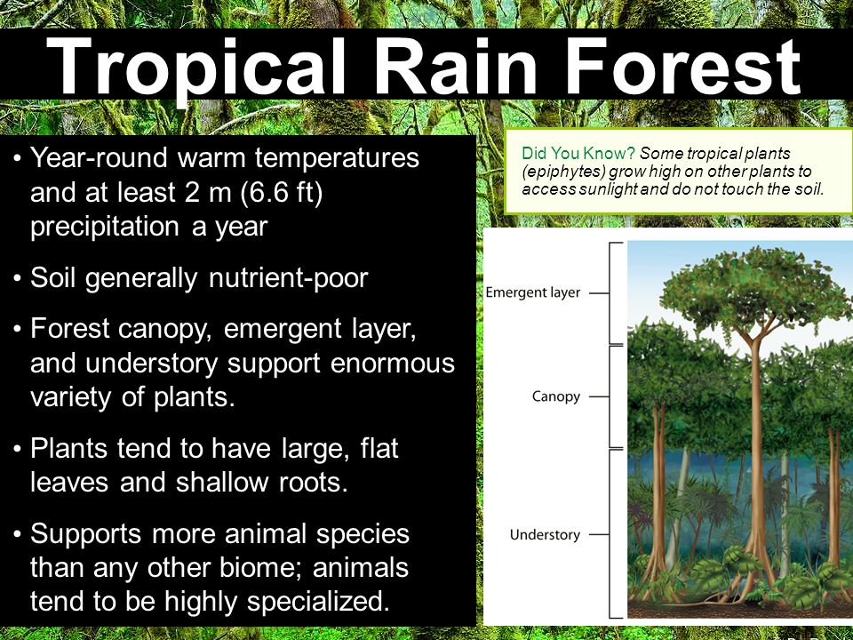 Tropical Rain Forest Did You Know Some tropical plants (epiphytes) grow high on other plants to access sunlight and do not touch the soil.