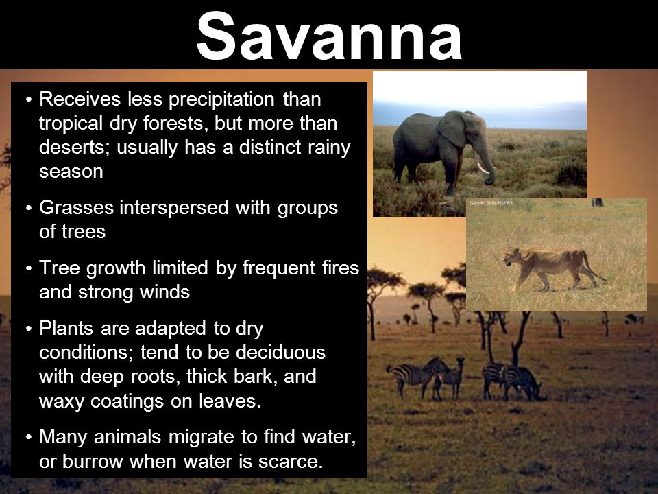 Savanna Receives less precipitation than tropical dry forests, but more than deserts; usually has a distinct rainy season.