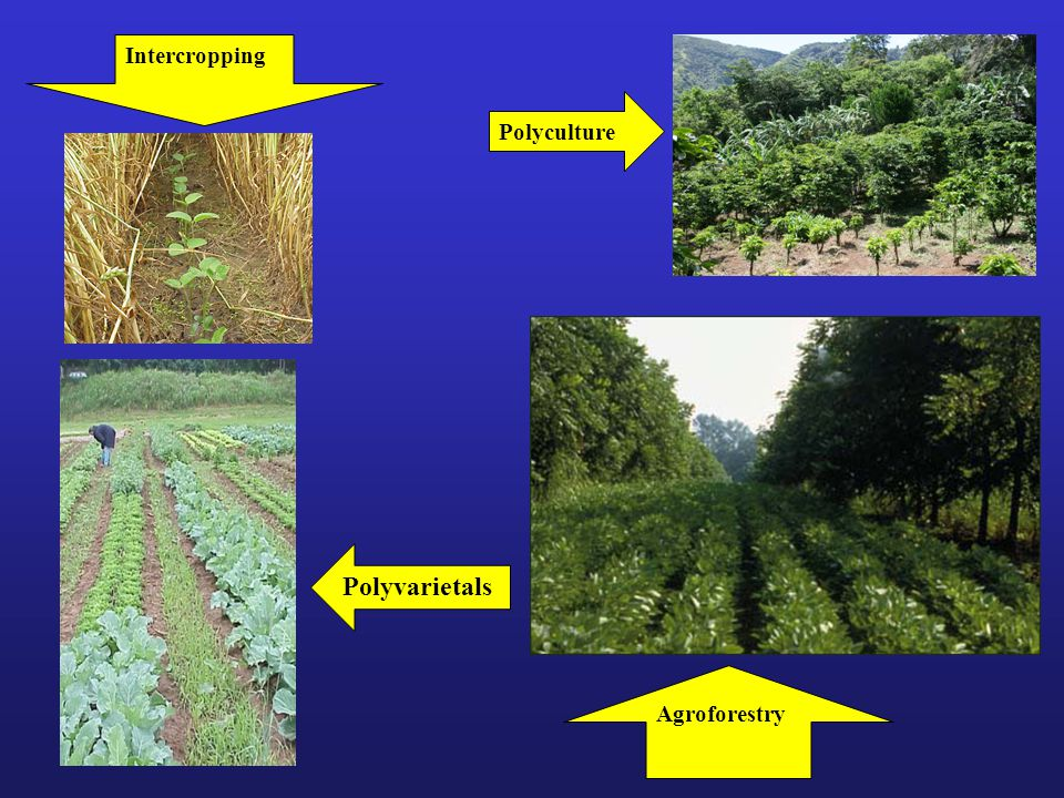 Intercropping Polyculture Polyvarietals Agroforestry