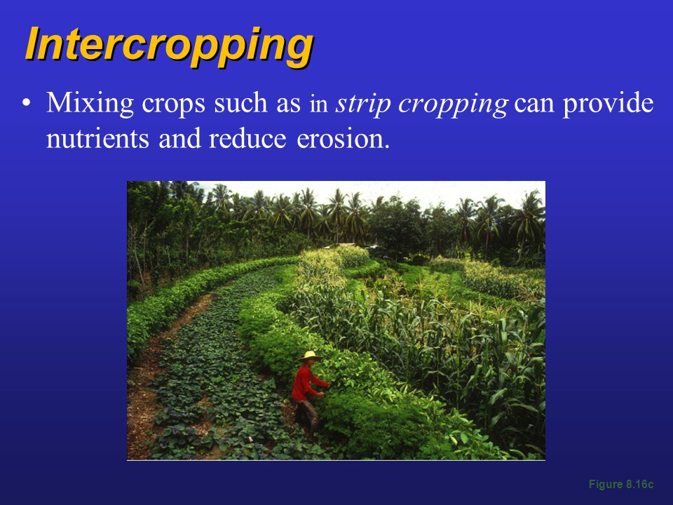 Intercropping Mixing crops such as in strip cropping can provide nutrients and reduce erosion.