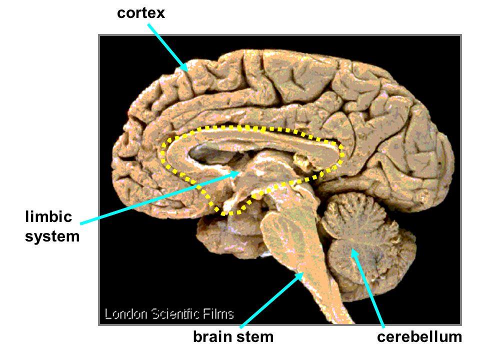 cortex limbic system brain stem cerebellum