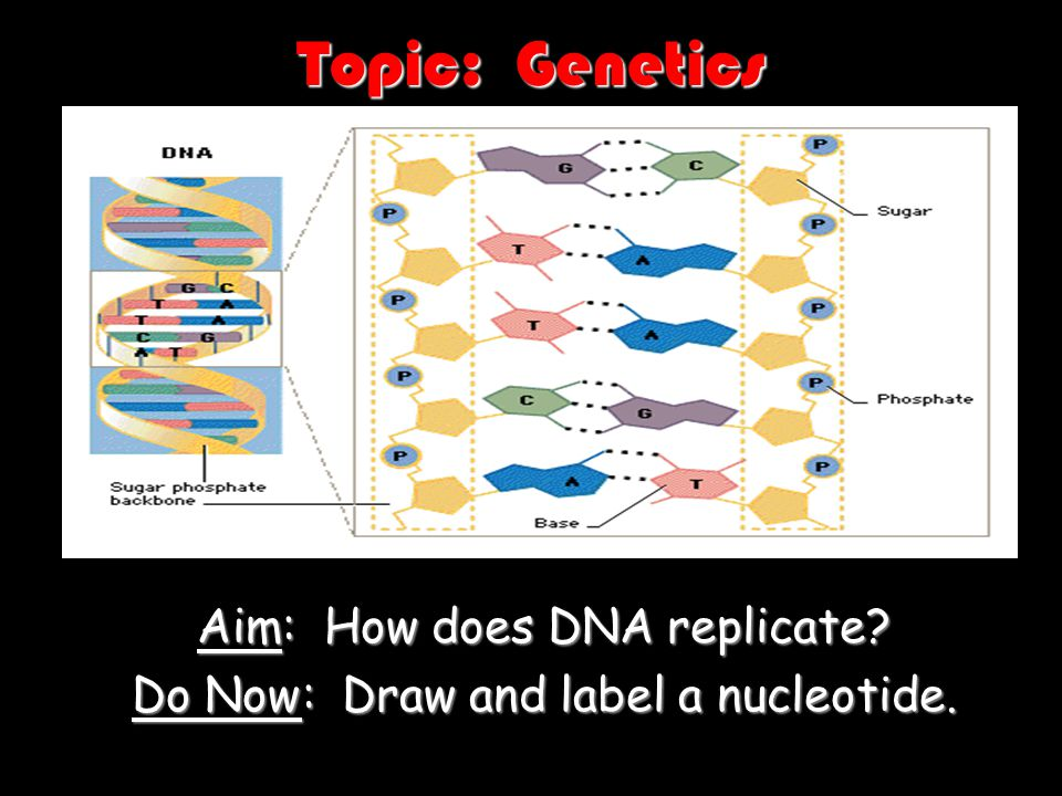 Aim: How does DNA replicate Do Now: Draw and label a nucleotide.