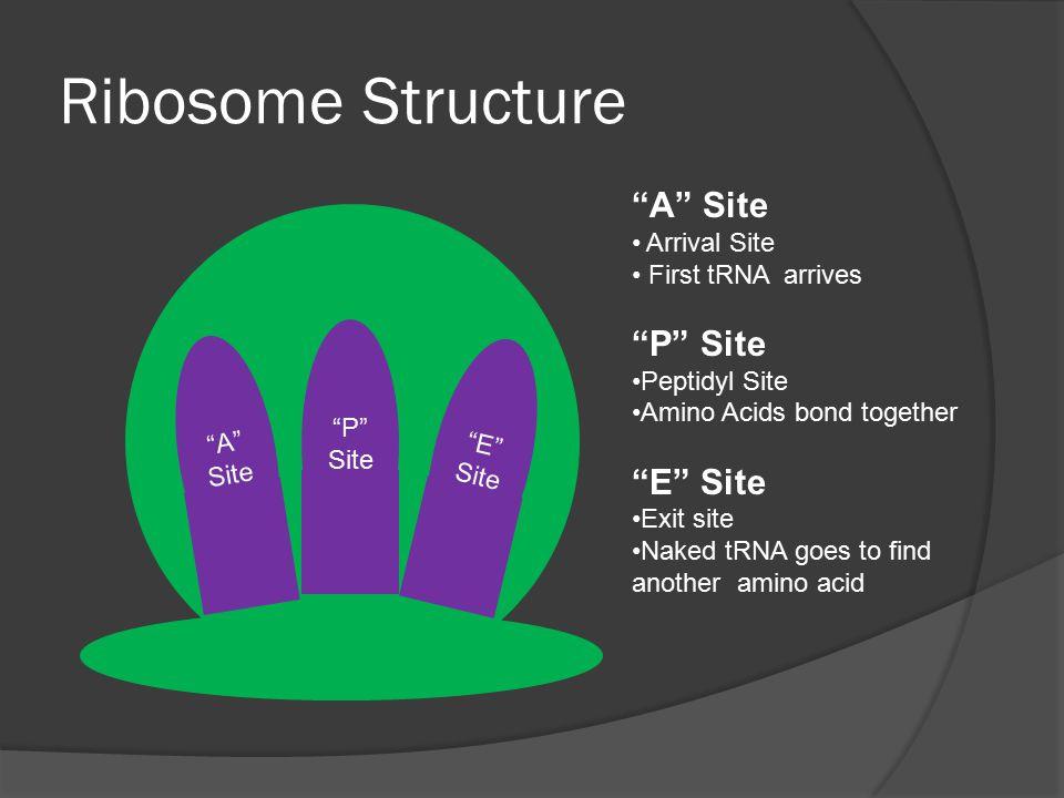 Ribosome Structure A Site P Site E Site Arrival Site
