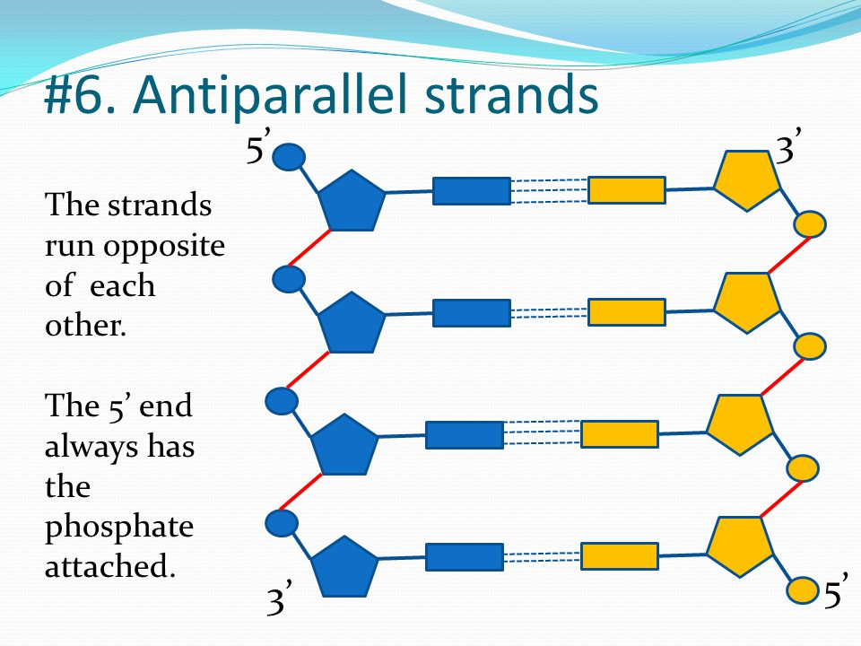 #6. Antiparallel strands