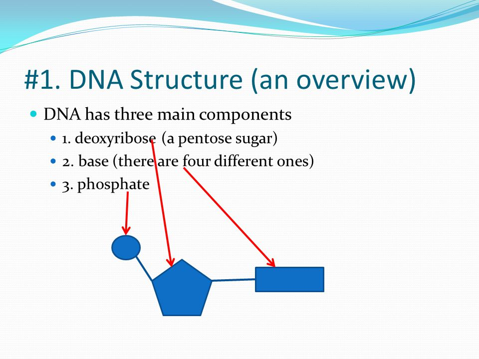 #1. DNA Structure (an overview)