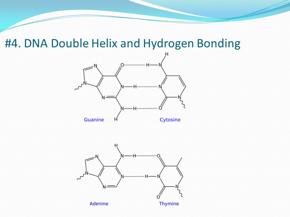 #4. DNA Double Helix and Hydrogen Bonding