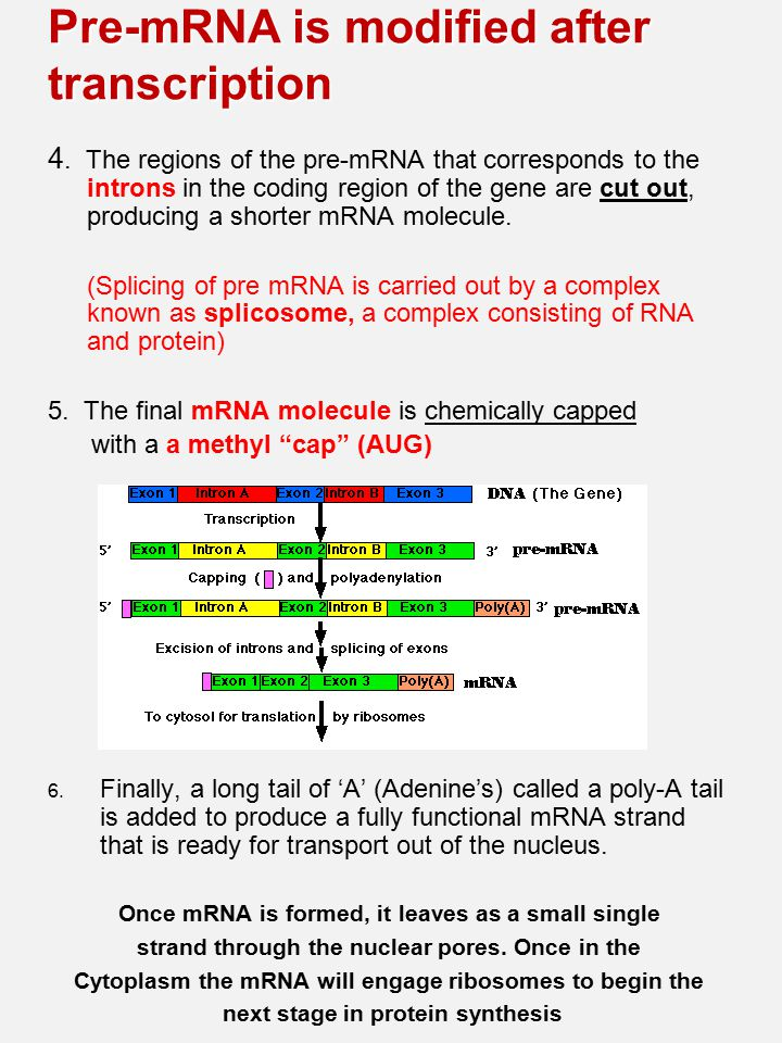 Pre-mRNA is modified after transcription