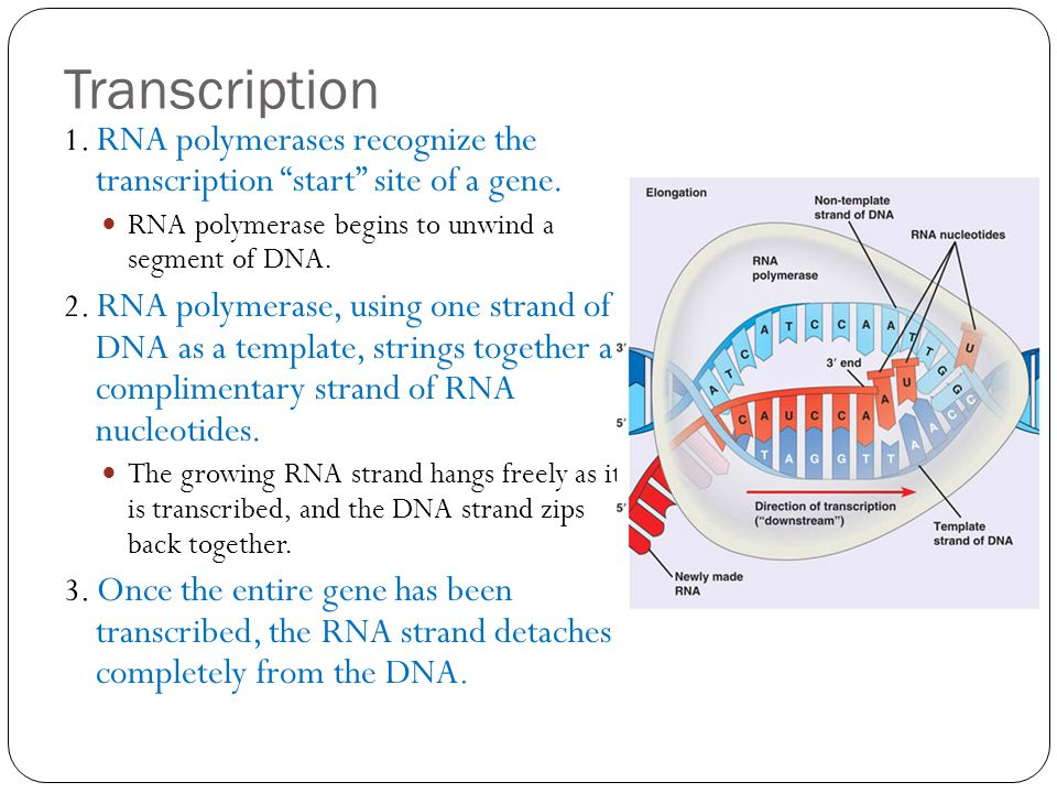 Transcription 1. RNA polymerases recognize the transcription start site of a gene. RNA polymerase begins to unwind a segment of DNA.