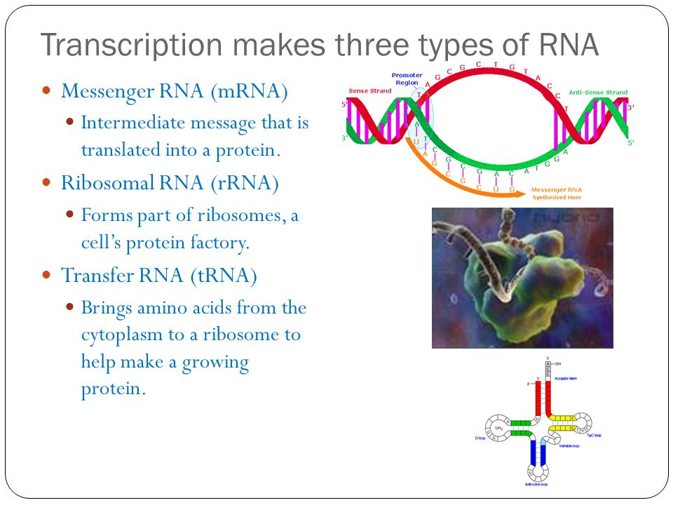 Transcription makes three types of RNA