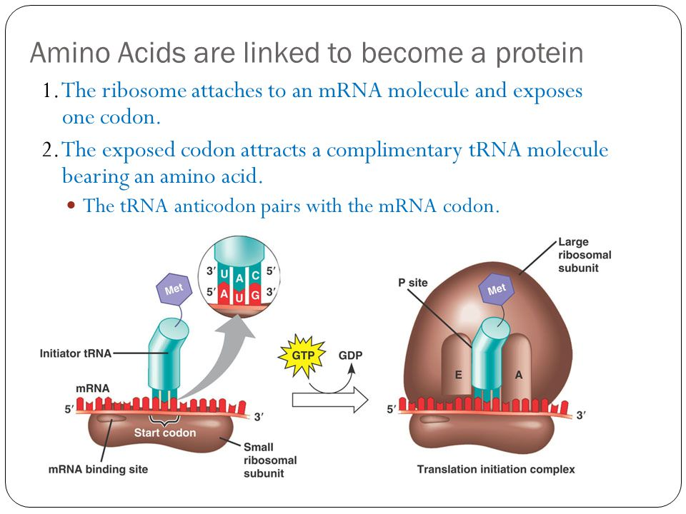 Amino Acids are linked to become a protein