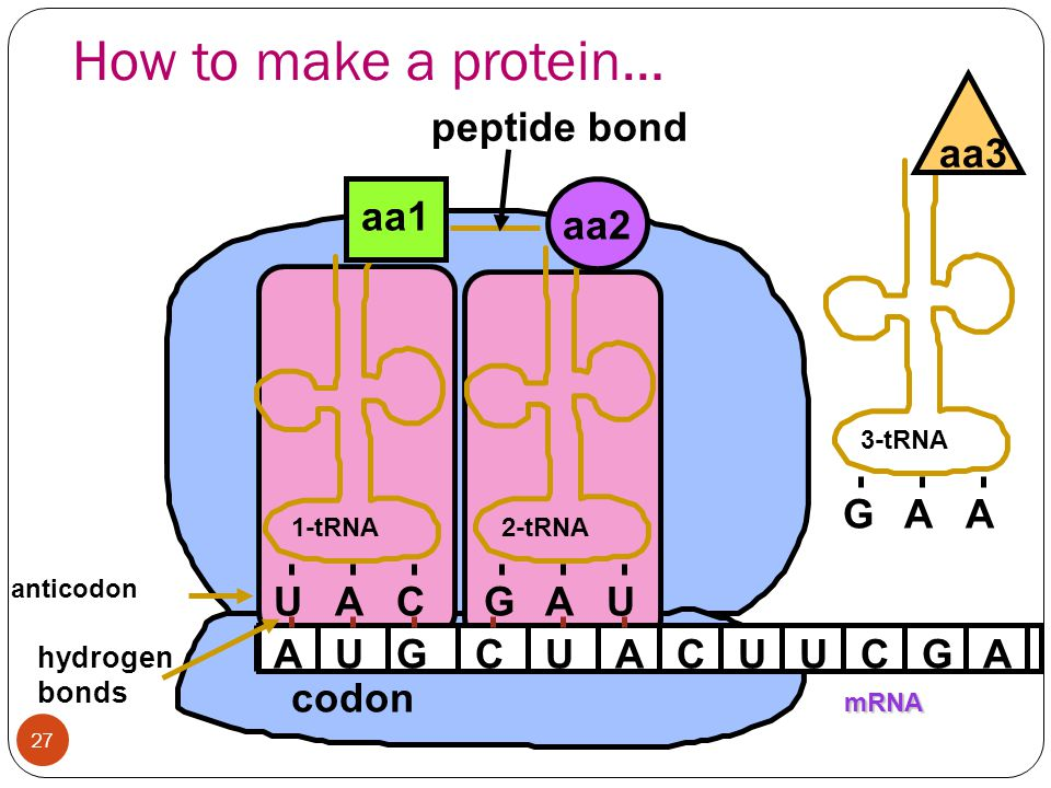 How to make a protein… G A aa3 peptide bond aa1 aa2 U A C G A U A U G