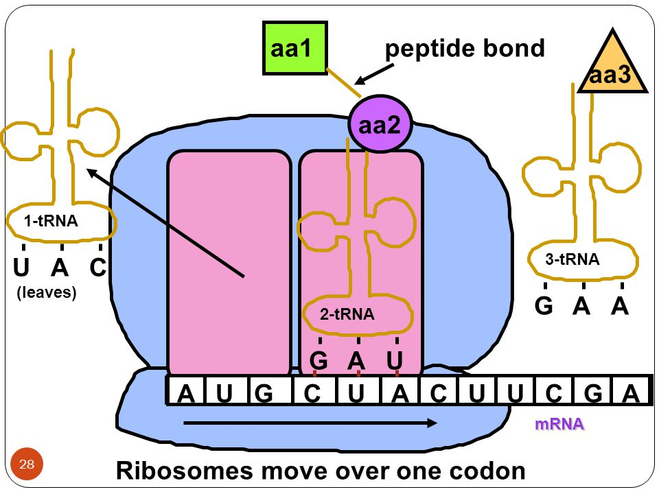Ribosomes move over one codon