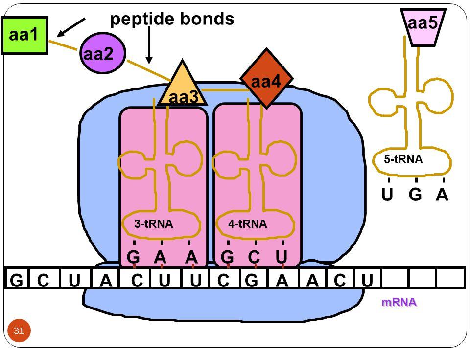 peptide bonds U G A aa5 aa1 aa2 aa4 aa3 G A A G C U G C U A C U U C G