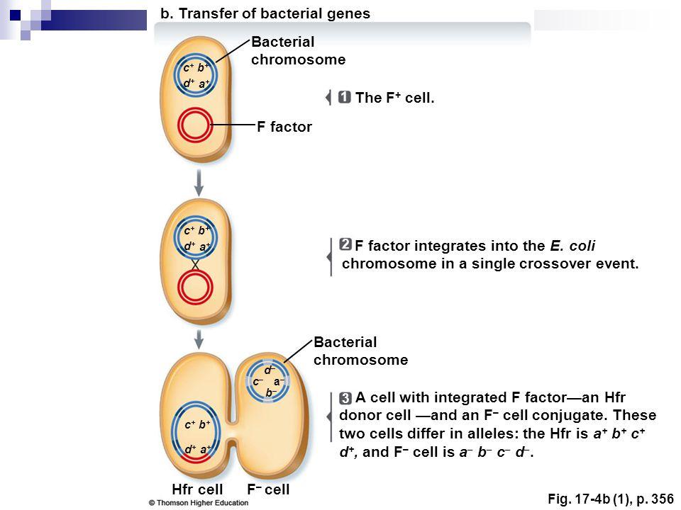b. Transfer of bacterial genes