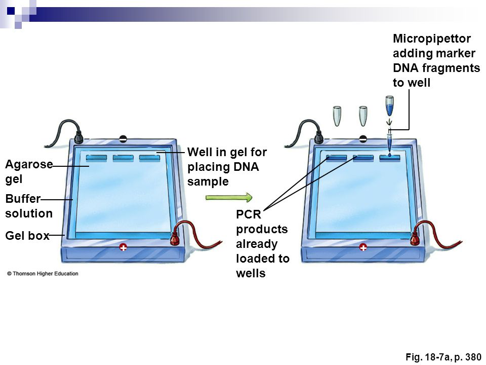 Micropipettor adding marker DNA fragments to well – – Well in gel for