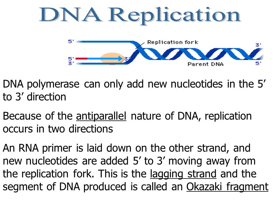 DNA Replication DNA polymerase can only add new nucleotides in the 5' to 3' direction.