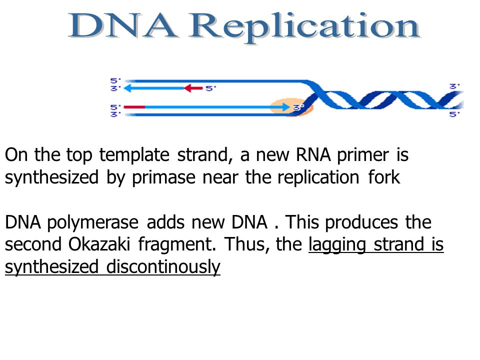 DNA Replication On the top template strand, a new RNA primer is synthesized by primase near the replication fork.
