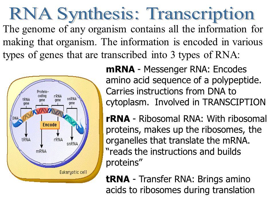 RNA Synthesis: Transcription