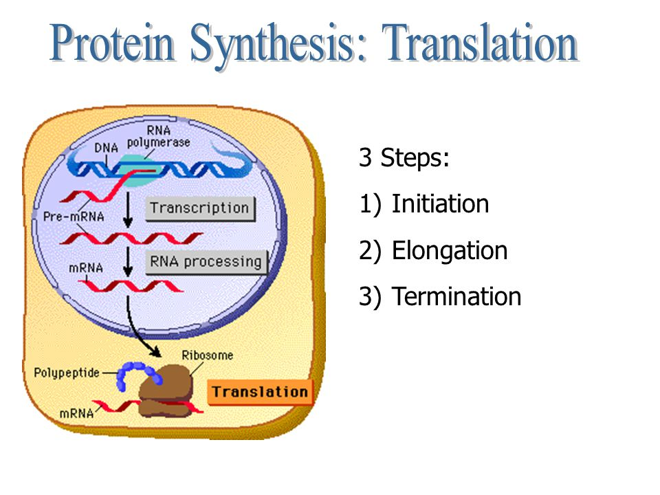 Protein Synthesis: Translation
