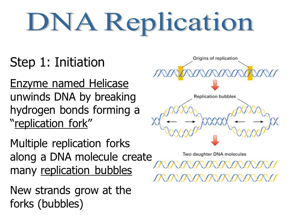 DNA Replication Step 1: Initiation