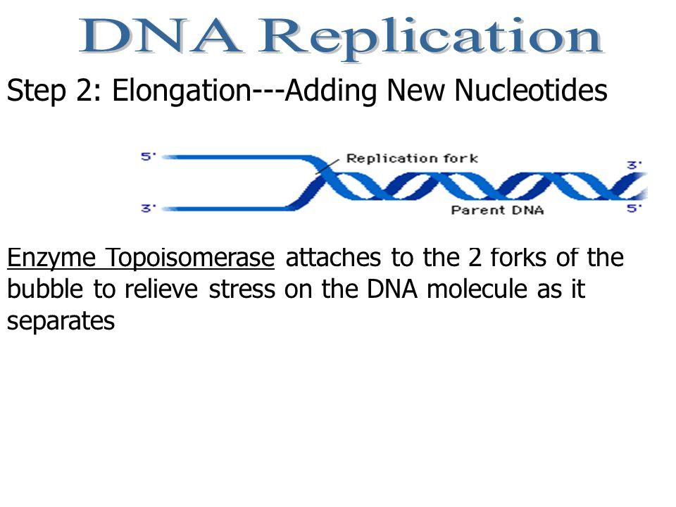 DNA Replication Step 2: Elongation---Adding New Nucleotides
