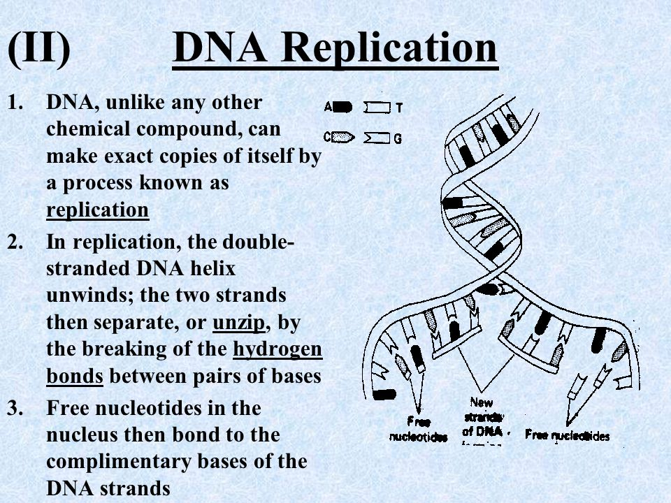 (II) DNA Replication DNA, unlike any other chemical compound, can make exact copies of itself by a process known as replication.