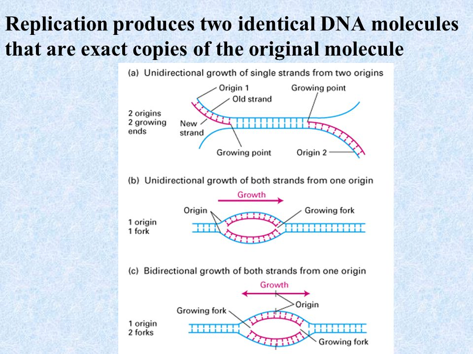 Replication produces two identical DNA molecules that are exact copies of the original molecule