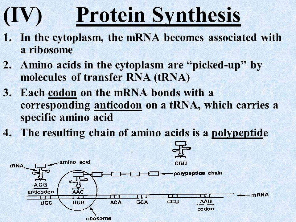 (IV) Protein Synthesis