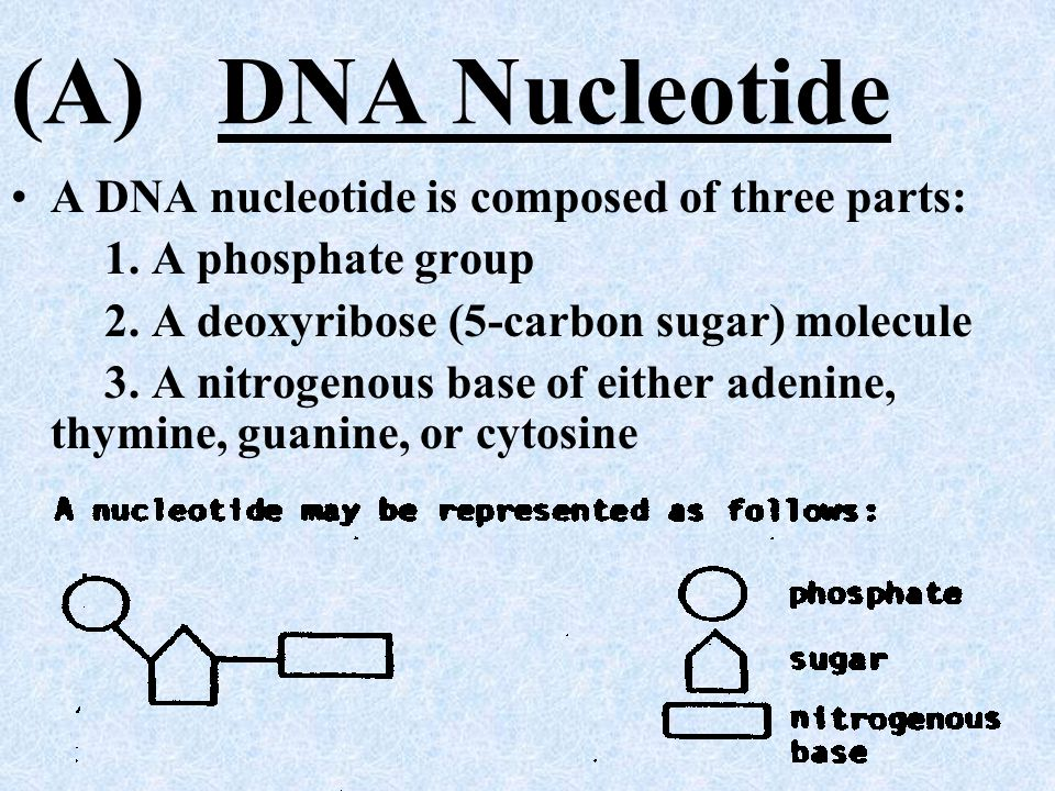 (A) DNA Nucleotide A DNA nucleotide is composed of three parts: