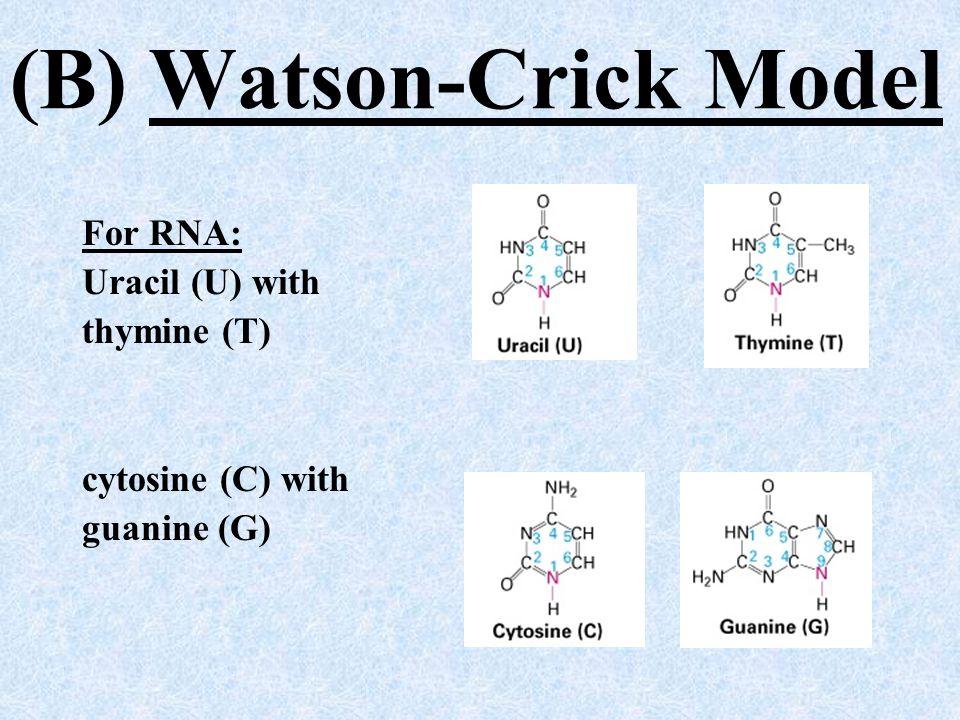 (B) Watson-Crick Model