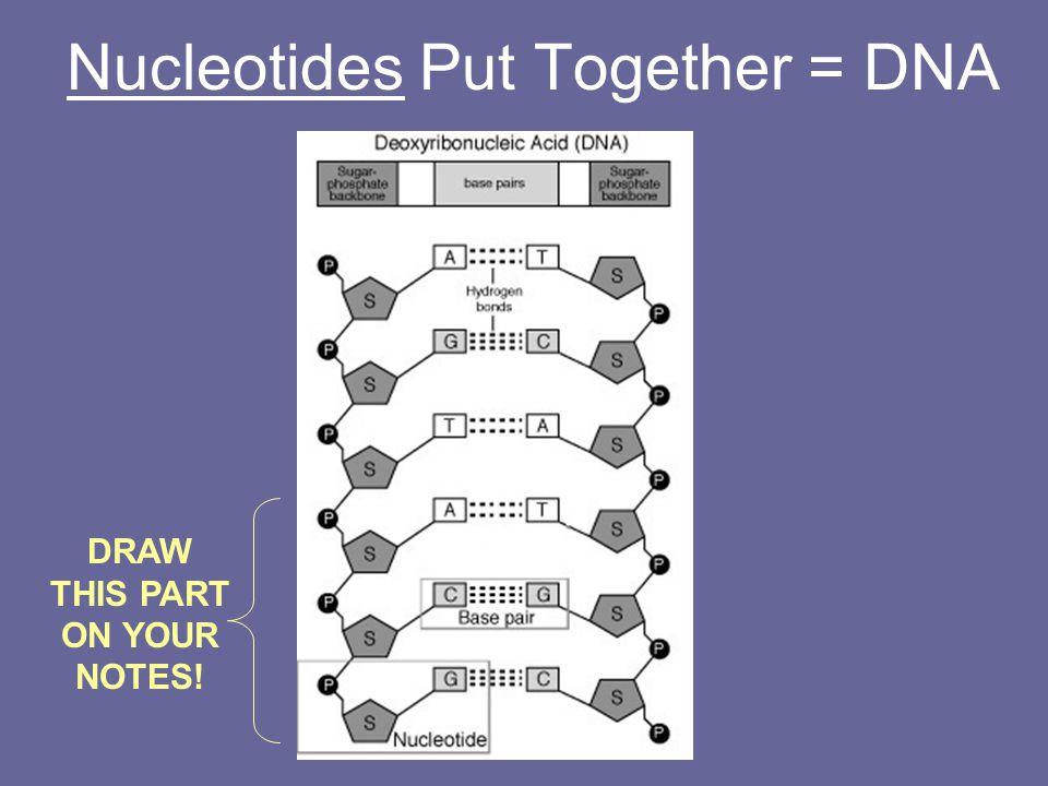 Nucleotides Put Together = DNA