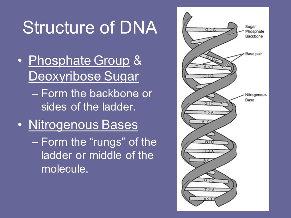Structure of DNA Phosphate Group & Deoxyribose Sugar Nitrogenous Bases