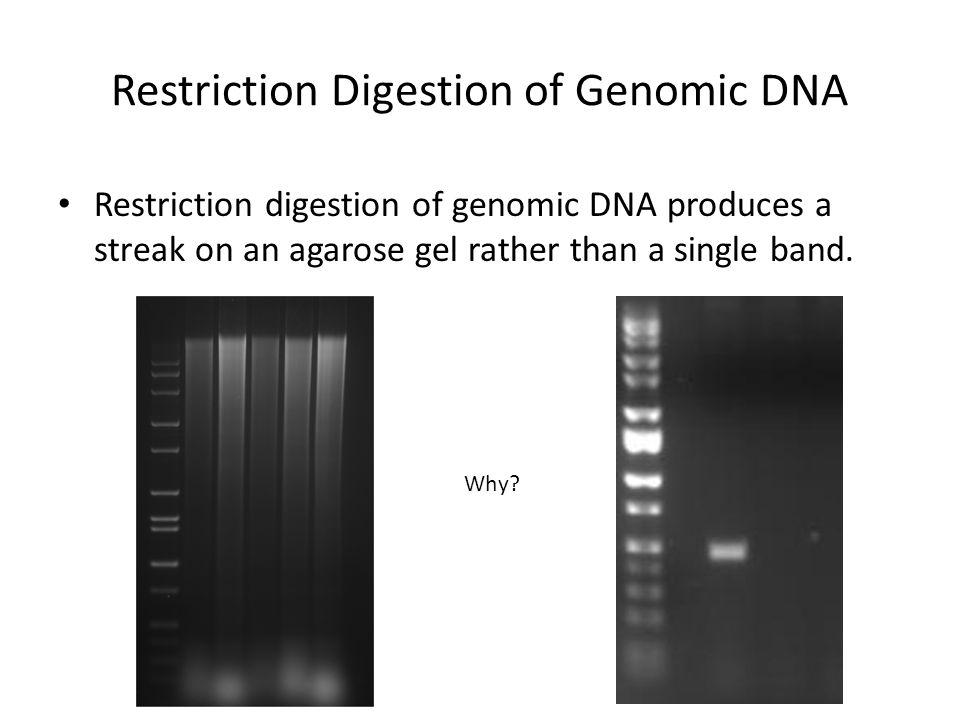 Restriction Digestion of Genomic DNA