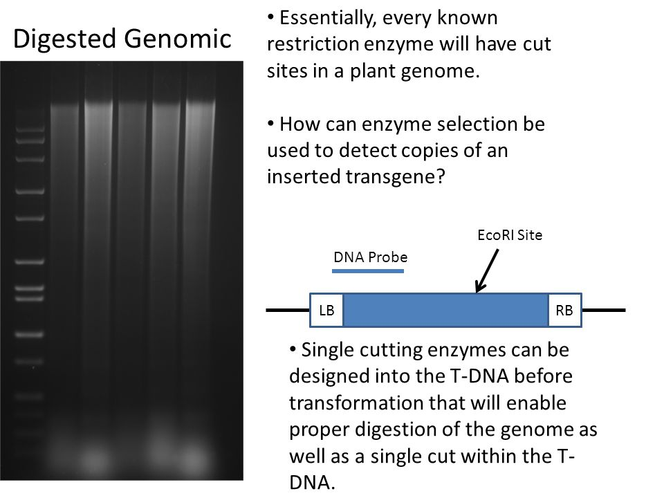 Essentially, every known restriction enzyme will have cut sites in a plant genome.