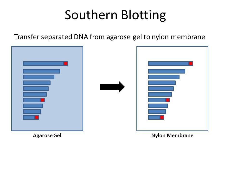 Transfer separated DNA from agarose gel to nylon membrane