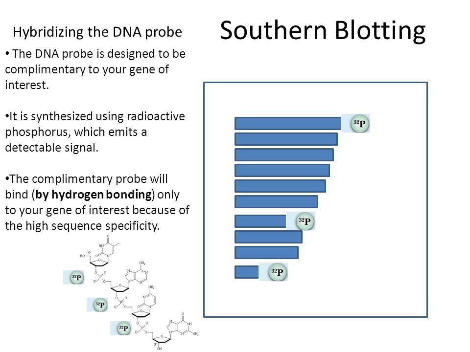 Southern Blotting Hybridizing the DNA probe
