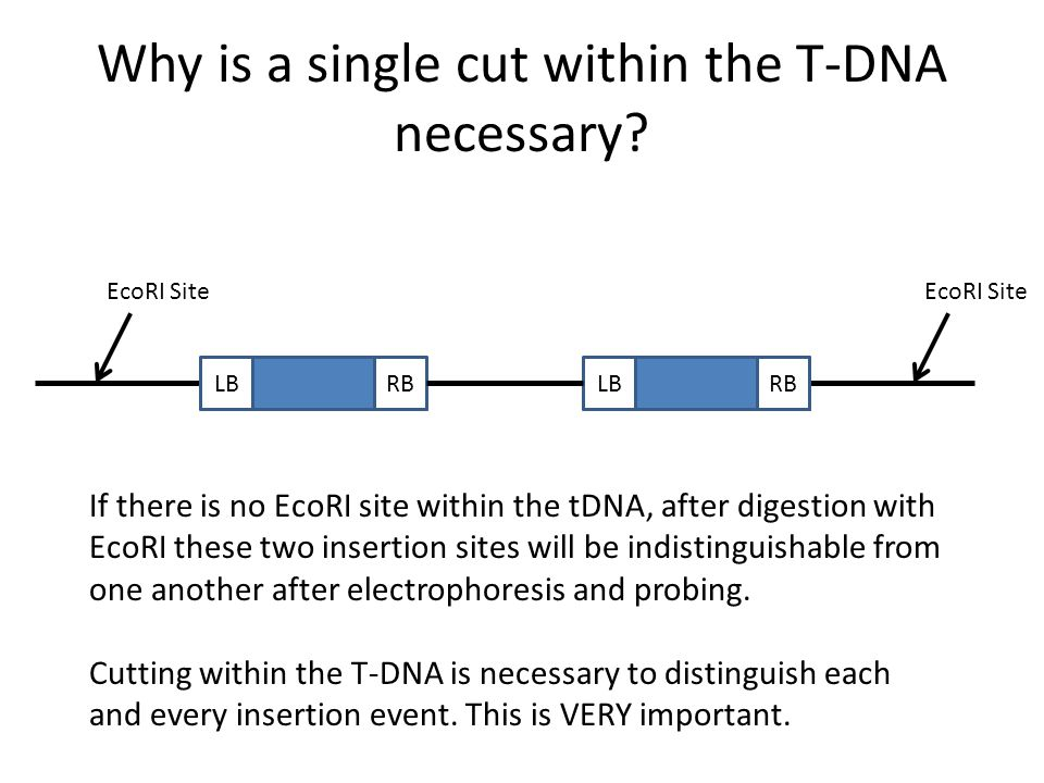 Why is a single cut within the T-DNA necessary
